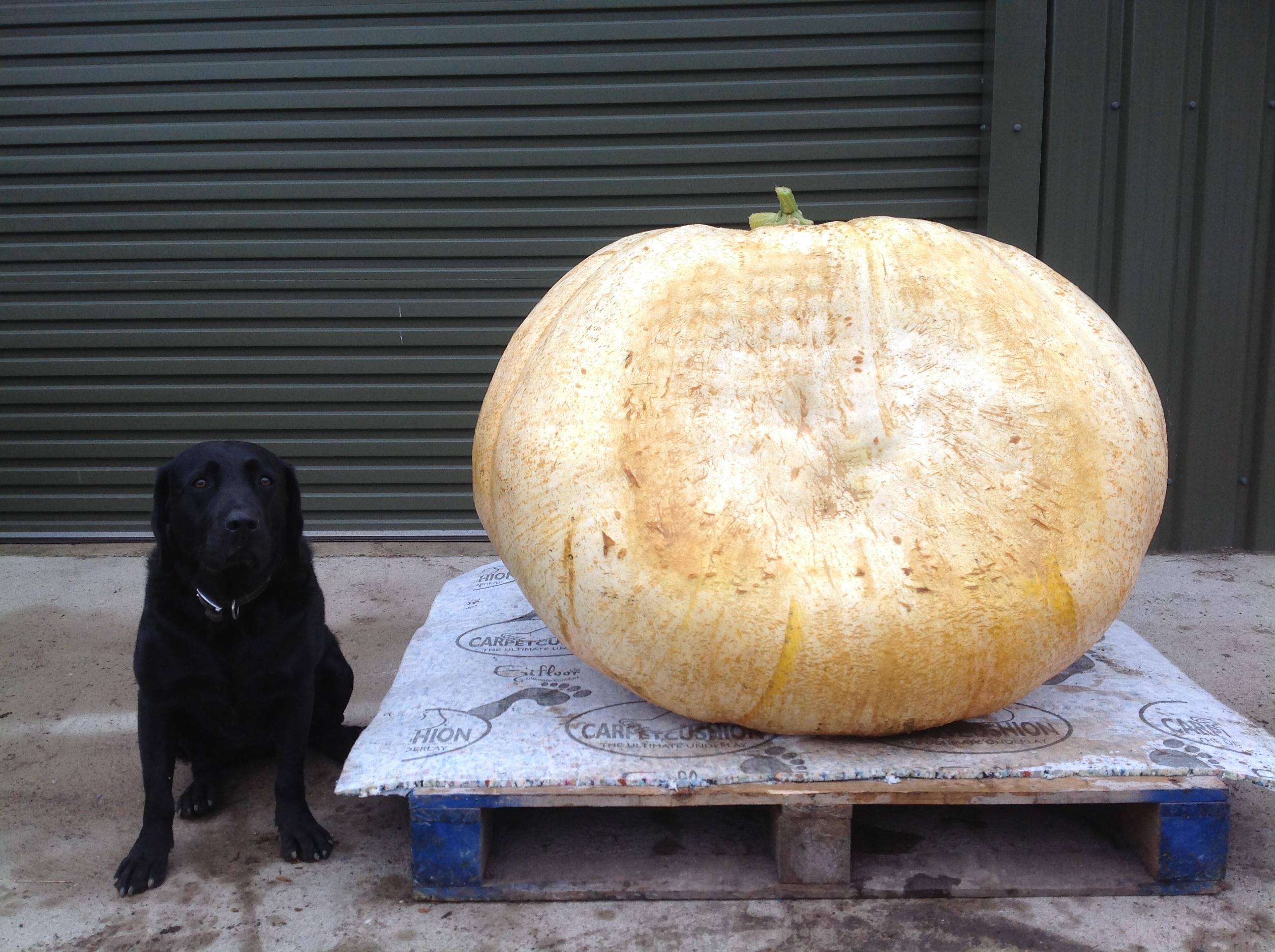 Giant Pumpkin 2013