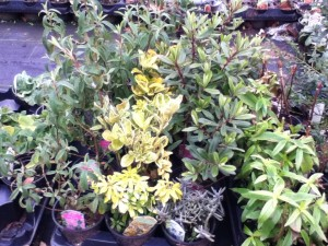 Shrubs and Perennial Plants