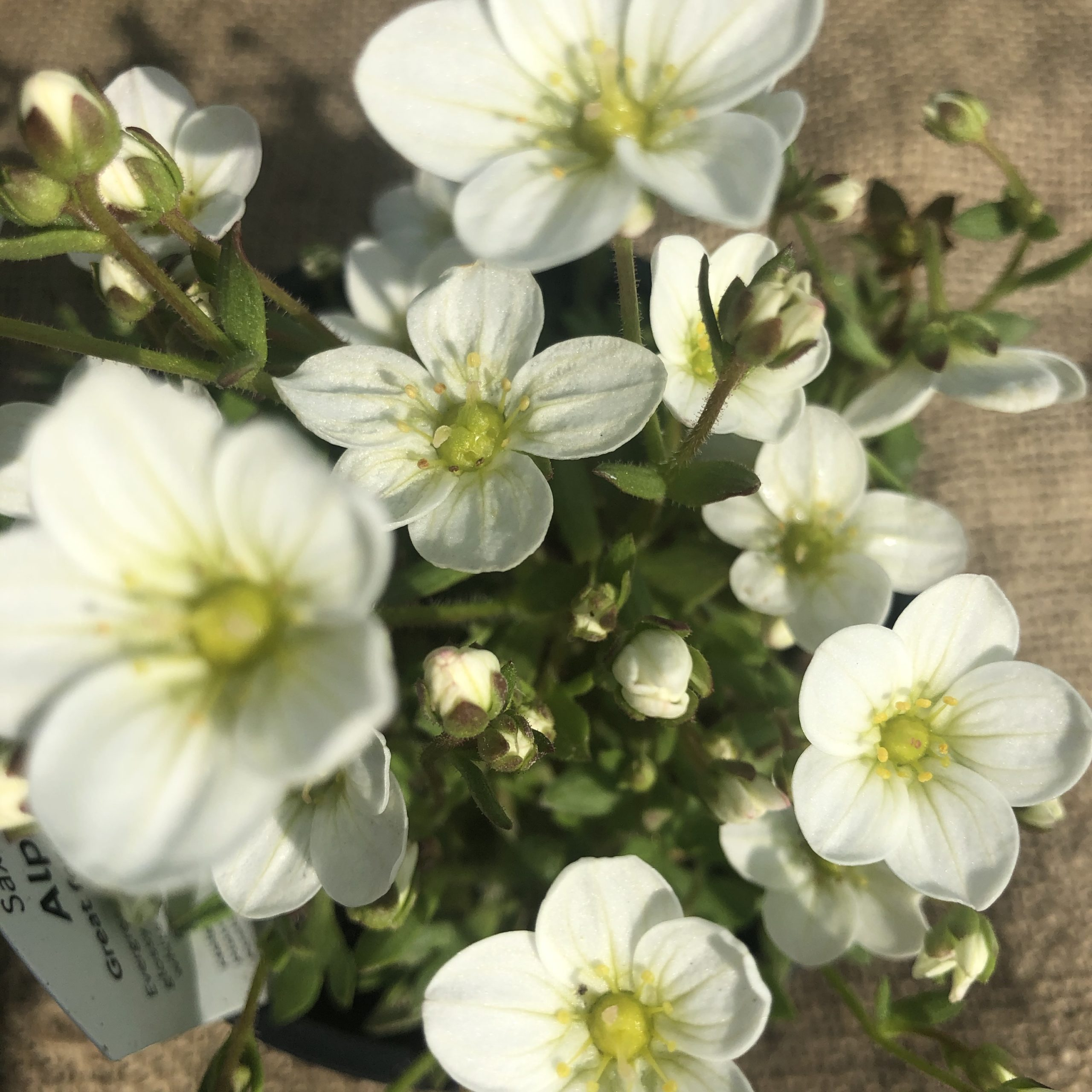 Shrubs and Perennials